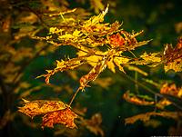 Autumn_gold_pr