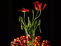Night_tulips_pr