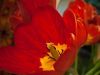 Tulips2008_pr