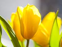 Tulips2019_pr