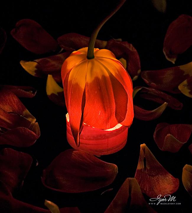 10-Tulips-00