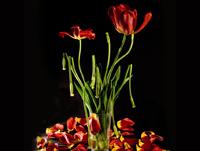 Night_tulips_pr