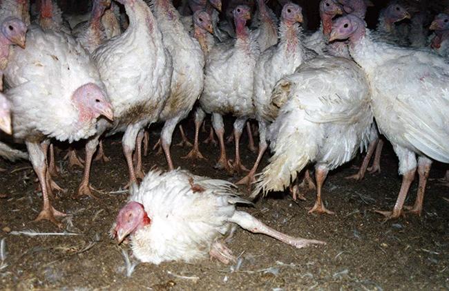 14 turkey-thanksgiving